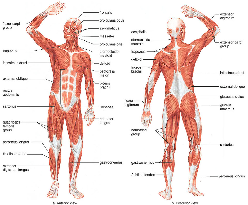 Lateral Muscle Chart Labeled Muscular System Pinterest